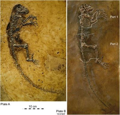 Missing-Link-Fossil