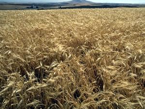 Barley Wheat