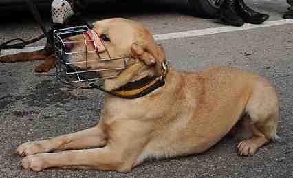 IDF Search and Rescue Dog closeup,jpg