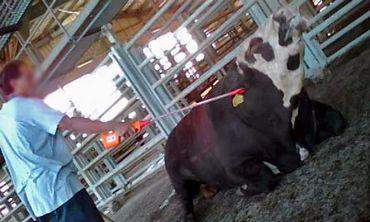 Cattle prod use at Tnuva's Adom Adom slaughterhouse 12-2012