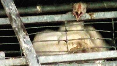 Animal Abuse At Soglowek 10-29-2013  ראש תרנגולת שנלכד בין הסורגים צילום- מתוך כולבוטק