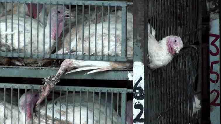 Animal Abuse at Soglowek Slaughterhouse Israel 10-2013 2