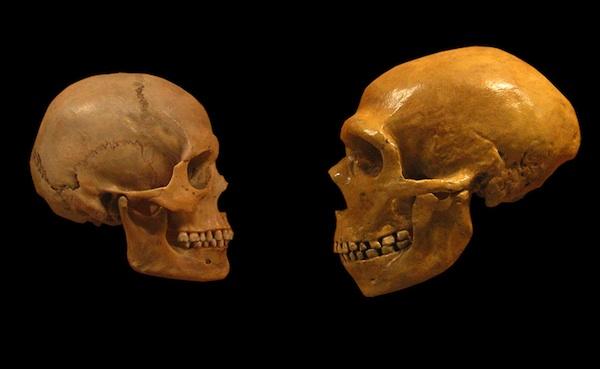 Human Skull, left, Neanderthal skull, right