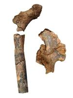 1.9 million-year-old pelvis and femur bone fossils of early humans in Kenya reveal that there were more distinctive species of early humans than previously thought