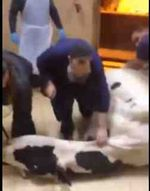 Shochet about to slaughter pregnant cow