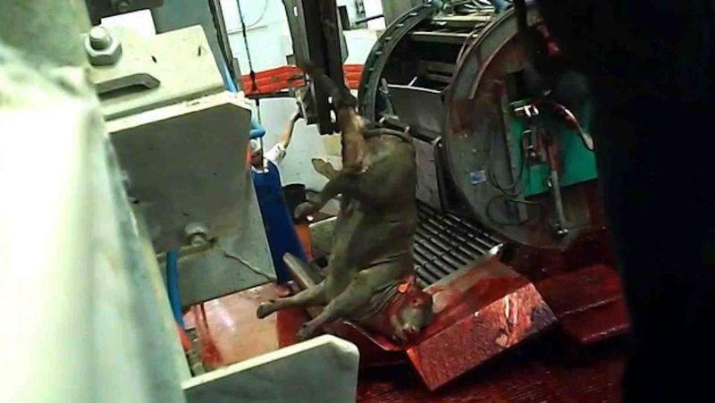 Australian cattle slaughtered in Israel 6-2015 upside down pen
