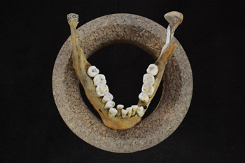Lower jaw and teeth of Early Neolithic farmer (Credit- Olivia Cheronet)