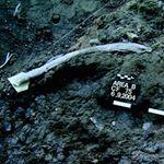 An elephant rib bearing cutmarks associated with flint tools at the Revadim site Israel Tel Aviv University 3.jpg-19-2015
