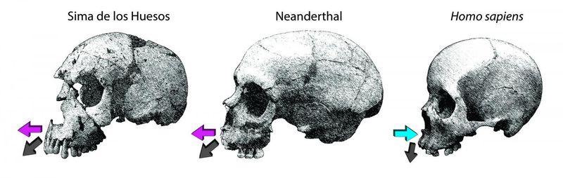 Skull comparison NYU 12-2015